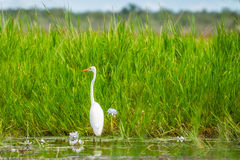 A Great Egret in the grass at Corroboree Billabong in Northern Territory, Australia Stock Photo