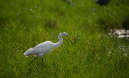 Great Egret in a green field Royalty Free Stock Images