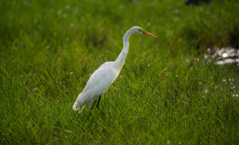 Great Egret in green field Stock Image