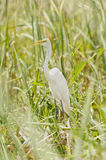 Great Egret hiding between the grass Royalty Free Stock Image