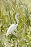 Great Egret hiding between the grass Royalty Free Stock Photography