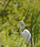Great Egret hiding between the grass Stock Image
