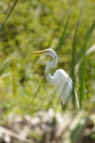 Great Egret hiding between the grass Royalty Free Stock Photos
