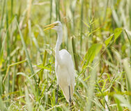 Great Egret hiding between the grass Stock Photo