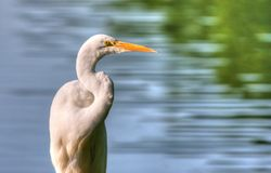 Great Egret in High Dynamic Range Stock Images