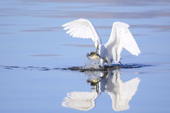 Great Egret With Huge Meal Royalty Free Stock Photo