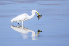 Great Egret With Huge Meal Royalty Free Stock Photography