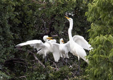 Great Egret with hungry children Royalty Free Stock Photography