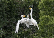 Great Egret with hungry children Royalty Free Stock Photos