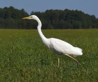 Great Egret in hunt amidst green field stock photo