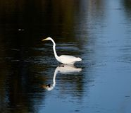 Great Egret on the Hunt. This is a Fall picture of a Great Egret on he hunt on a small bay on Lake aerie located in Sandusky, Ohio in Erie County. This picture royalty free stock photo