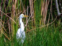 Great Egret, hunting by the bank of a marsh pond royalty free stock photos