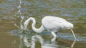 Great egret hunting and eating a in wetlands off the Minnesota River - in the Minnesota Valley National Wildlife Refuge. Birds royalty free stock images