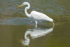 Great egret hunting and eating a in wetlands off the Minnesota River - in the Minnesota Valley National Wildlife Refuge stock photos