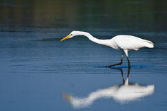 Great Egret Hunting for Fish in Autumn Stock Image