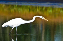 Great Egret Hunting for Fish in Autumn Stock Images