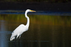 Great Egret Hunting for Fish in Autumn Stock Photo