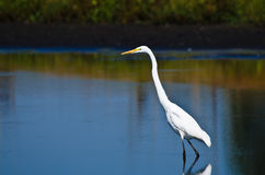 Great Egret Hunting for Fish in Autumn Royalty Free Stock Images