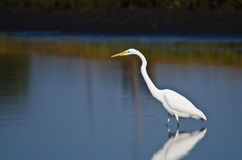 Great Egret Hunting for Fish in Autumn Royalty Free Stock Photography