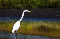 Great Egret Hunting for Fish in Autumn Royalty Free Stock Image