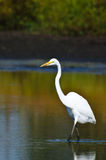 Great Egret Hunting for Fish in Autumn Royalty Free Stock Photos