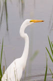 Great Egret. Hunting for fish in the marsh stock photos