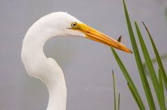 Great Egret. Hunting for fish in the marsh stock image