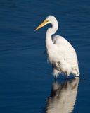 Great Egret. A great egret hunting fish in a salt marsh Stock Image