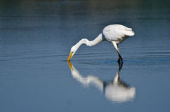 Great Egret Hunting for Fish Stock Photography