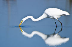 Great Egret Hunting for Fish Royalty Free Stock Images