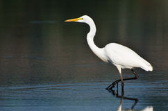 Great Egret Hunting for Fish Royalty Free Stock Image