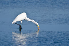 Great Egret Hunting for Fish Stock Images