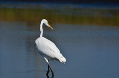 Great Egret Hunting for Fish Stock Photo