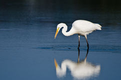 Great Egret Hunting for Fish Stock Photos