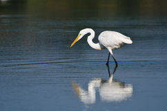 Great Egret Hunting for Fish Stock Image