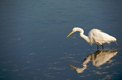 Great Egret Hunting for Food Royalty Free Stock Photos
