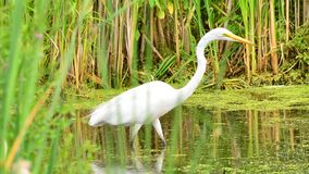 Great Egret Hunting For Fish In The Wood Lake Nature Center In Minnesota Royalty Free Stock Images