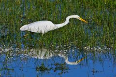 Great egret hunting in a pond. Royalty Free Stock Images