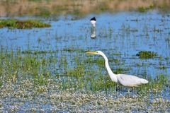 Great egret hunting in a pond. Royalty Free Stock Photos