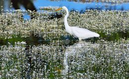 Great egret hunting in a pond. Stock Image