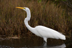 Great Egret. A great egret hunting a salt marsh Stock Photo