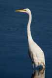 Great Egret. A great egret hunting in a salt marsh in South Carolina ,USA Royalty Free Stock Photo
