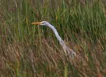 A Great Egret hunting in saw grass. In a South Florida swampland royalty free stock photo