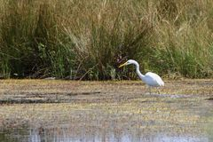 Great egret hunting on swamp Stock Photography