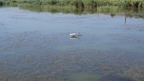 Great egret hunting and trying to catch a prey in water. Great egret, also called white heron, hunting by wading in wetlands slowly and gracefully and trying to stock footage