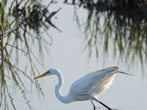 Great egret. At Huntington Beach State Park, South Carolina Royalty Free Stock Photography