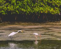 Great Egret and an Ibis Sharing an Island. A great egret and a juvenile ibis in the evening sunlight feeding together on a mangrove island in a Lagoon in Jupiter stock images