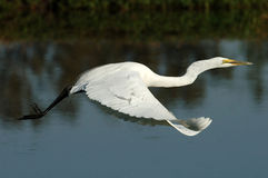 Free Great Egret In Flight Stock Image - 2336581
