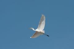 Free Great Egret In Flight / Ardea Alba Royalty Free Stock Photo - 16796565