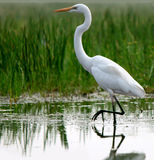 Great Egret In Shallow Water Royalty Free Stock Image